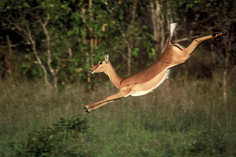 impala animal jumping - HD1500×1000