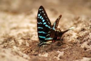Blue Ribbontail