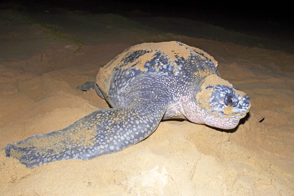Turtle Tracking at Kosi Forest Lodge