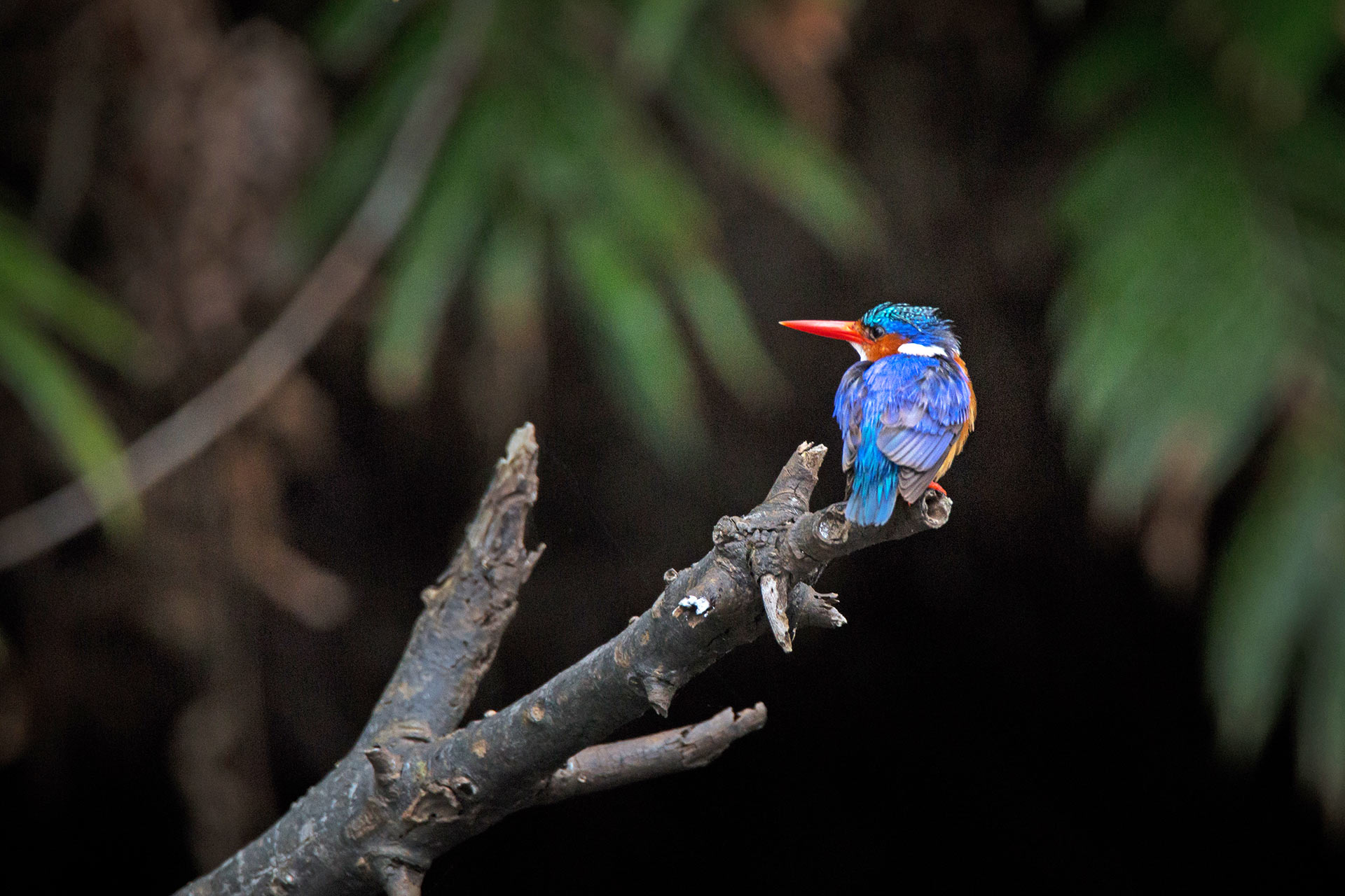 Malachite Kingfisher at Kosi Forest Lodge