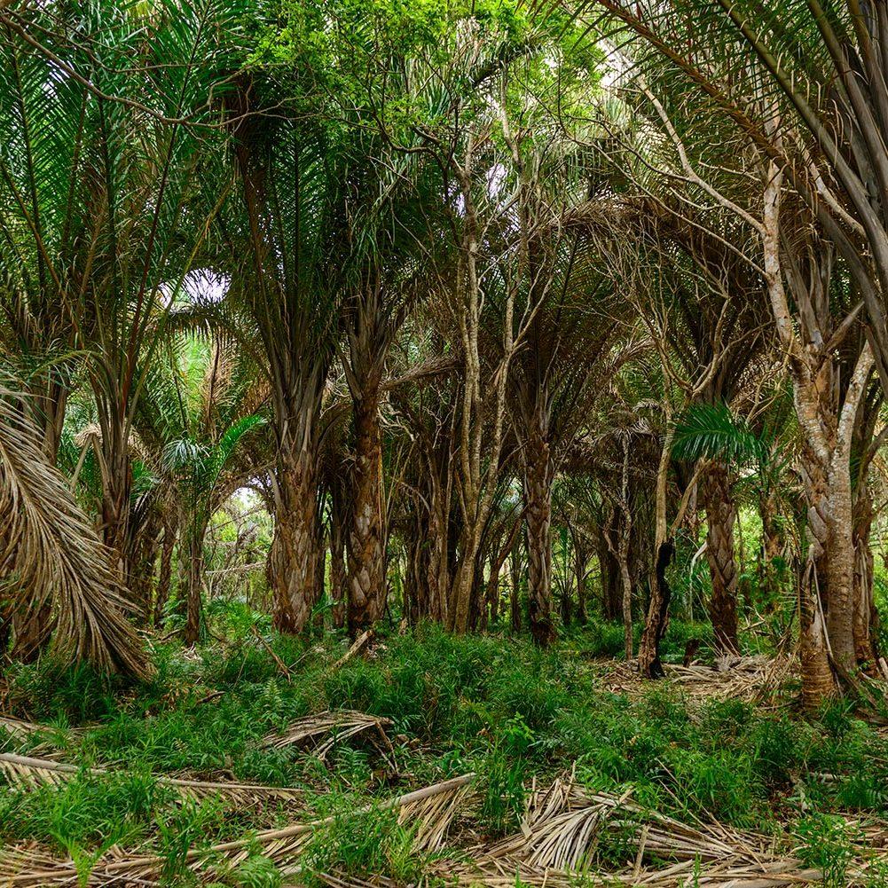 Raffia Palm Forest