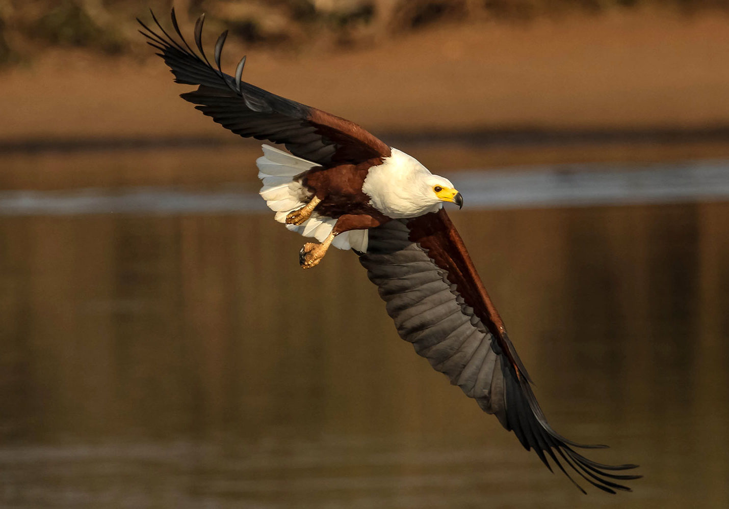 Fish Eagle - Joey Vermeulen