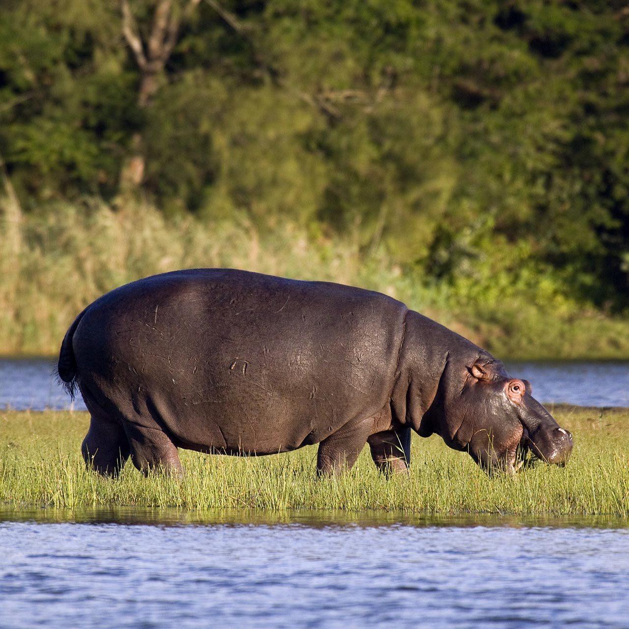 hippo-isimangaliso-2